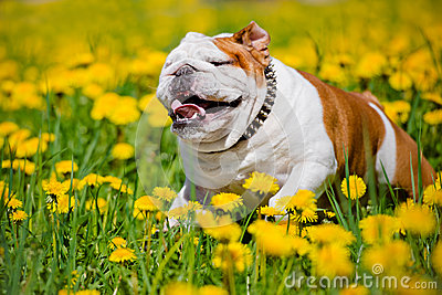 english-bulldog-running-dandelions-field-breed-dog-outdoors-summer-54468091.jpg